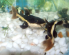 Baby Red Tailed Catfish for sale in Malaysia