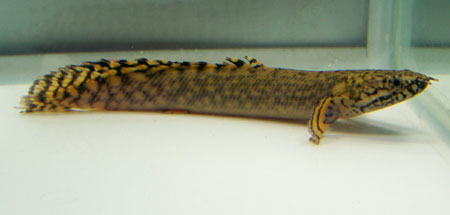 My aquarium blog latest news from the shop my aquarium for Bichir fish for sale