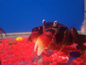 Vampire crabs my aquarium for Vampire fish for sale