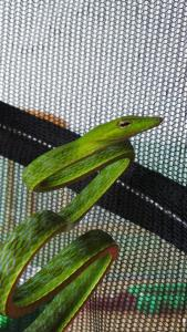 oriental whip snake for sale in malaysia