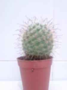 Cactus Type C For Sale