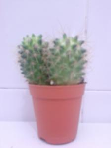 Cactus Type D For Sale