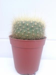 Cactus Type E For Sale