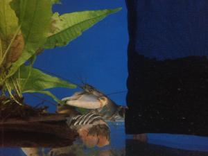 Freshwater Tiger Lobsters For Sale
