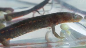 Fire Belly Newts For Sale