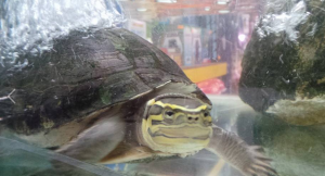 Asian Box Turtle For Sale In Malaysia