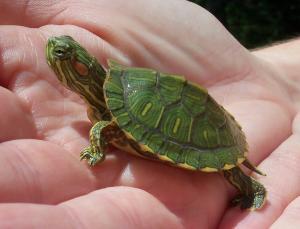 Kura Kura Red Ear Slider Turtle Babies For Sale