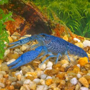 Freshwater Blue Lobsters For Sale In Malaysia