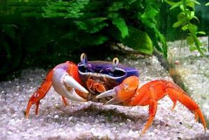 Rainbow Crabs For Sale in Malaysia