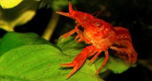 Super Orange Lobsters For Sale