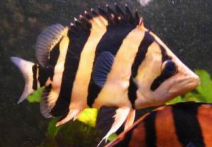 Siamese Tiger Fish For Sale In Malaysia