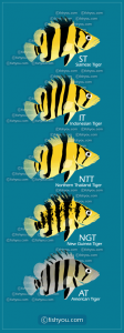 Different types of tiger fish for sale