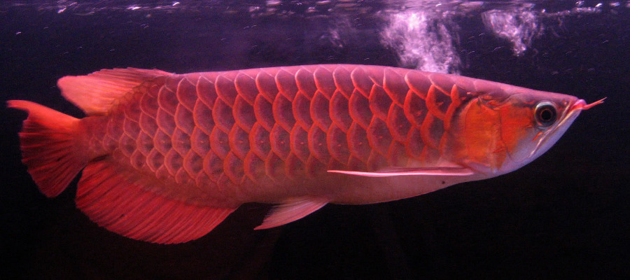 Chili red arowana for sale