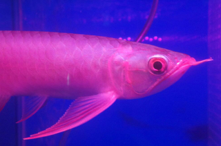 Dragonfish Arowana Kelisa for sale
