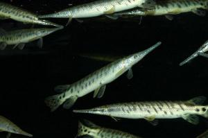 Spotted Alligator Gar Fish For Sale My Aquarium